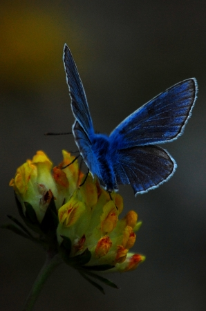 cupido: Late spring butterfly, macro photo  Family called Plebejus or Cupido in latin  Stock Photo