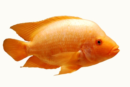 orange fish, profile, white background Stock Photo - 19024022