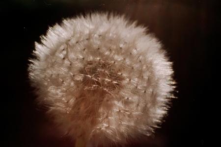 Gently looking dandelion seeds