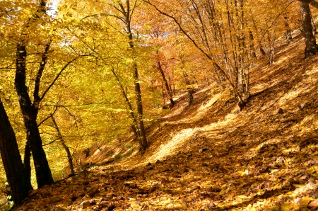 colorful beech forest in autumn photo