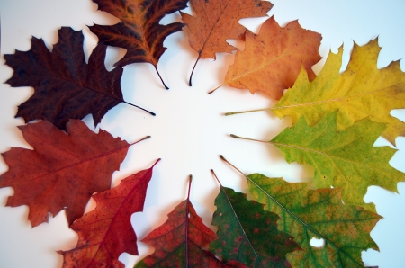 red oak leaves in fall season - collection of colours - white backgrounds photo