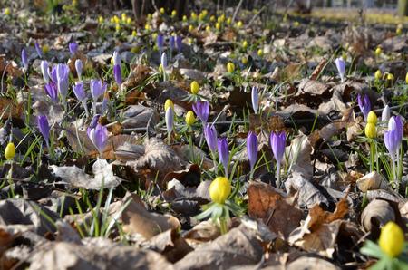 field of winter aconite (eranthis hyemalis) and safran (crocus) flowering in spring time photo