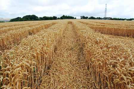 cropcircle: ground level view of the crop circle