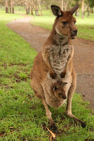 marsupial: Kangaroo and its child