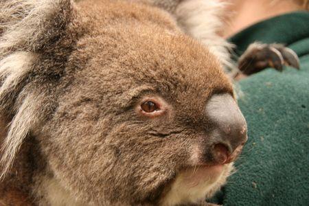 Koala Stock Photo - 6855654