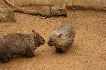 Wombats photo