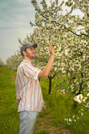 agronomist: Agronomist or farmer examine blooming cherry trees in orchard