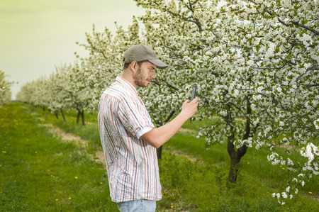 to examine: Agronomist or farmer examine blooming cherry trees in orchard