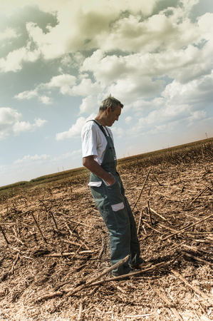 Sunflower on harvesting time