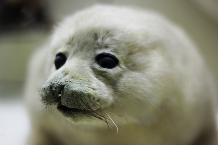 baby seal: baby harp seal on ice floe in canadian north atlantic