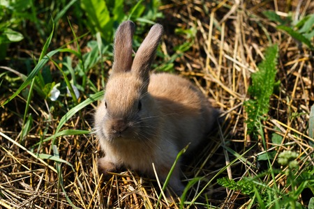 miniature breed: Red-haired rabbit on the farm. Red-haired hare on the grass in nature