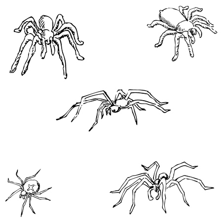 invertebrate: Spiders. A sketch by hand. Pencil drawing. Vector image Illustration