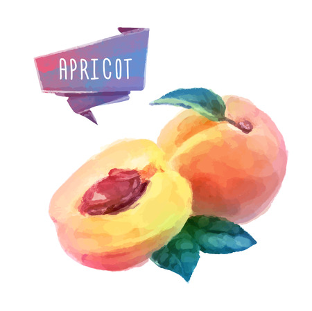 Apricot hand drawn watercolor, on a white background. Vector