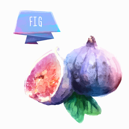 fig: Fig hand drawn watercolor, on a white background.