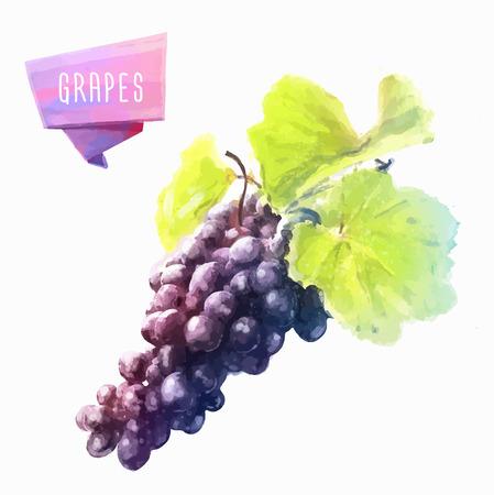 grapes: Uva elaborado a mano acuarela, sobre un fondo blanco. Vectores