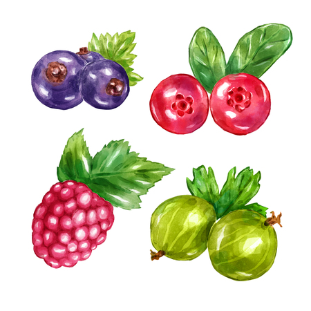 cranberry illustration: Watercolor berries gooseberries raspberries blueberries blueberry cranberry . Big collection of  illustrations. Good for book illustration, magazine or journal article.