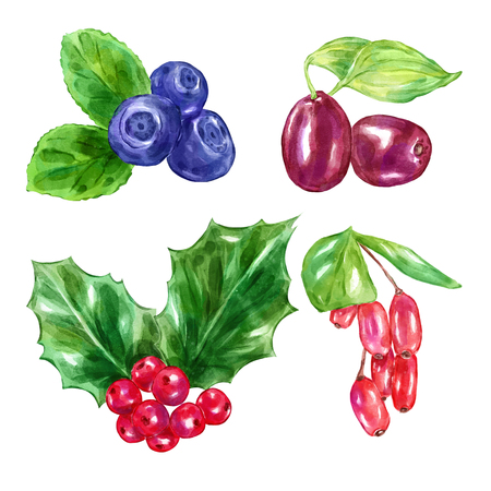 ilex: Watercolor berries barberry ilex aquifolium leaves blueberry . Big collection of  illustrations. Good for book illustration, magazine or journal article.