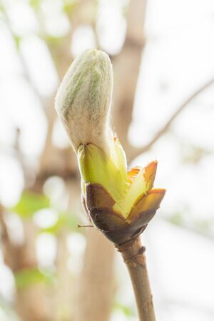 Fluffy Bud of chestnut tree in early spring close up. Blurred background. Natural backdrop for your design. soft focus. Imagens