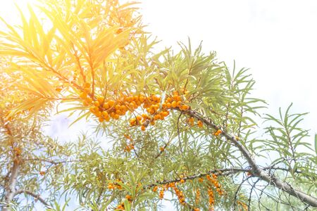 Branch of sea buckthorn with ripe orange berries growing thickly and green long leaves in sunlight. Summer day. Imagens