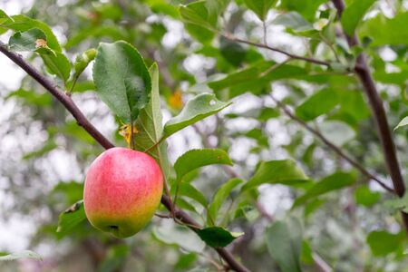 Delicious ripe Apple hangs from a tree branch. Green foliage in background.