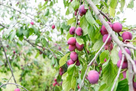 branch of plum fruit closeup. Ripe red plums. Imagens
