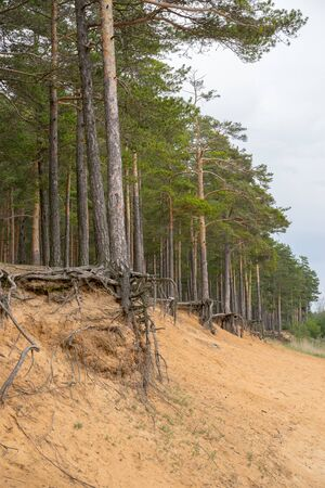 Pine trees with gnarled roots growing on the slope exposed to soil erosion. Ecological problems.