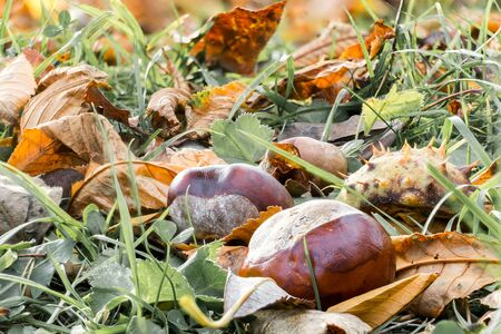 Close up large ripe chestnut nuts and piece of prickly shell fell from tree into dry yellow leaves and green grass. Selected focus on autumn background.