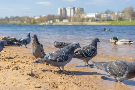flock of wild dove and ducks on the embankment. concept of wildlife life in a big city. Imagens
