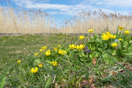 Spring primroses Caltha palustris with bright yellow flowers and juicy green leaves on background of dry reeds on Sunny day. Medicinal herbs with healing properties. Homeopathic medicine.