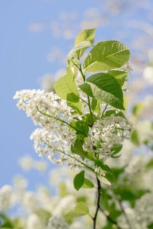 Branches of blossoming bird-cherry in spring. Romantic floral background.