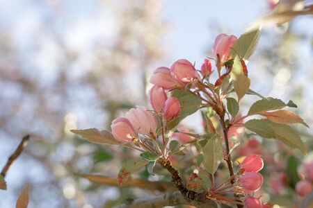 Blooming apple tree on spring, soft focus. Closeup of pink blossoming branches. Background with flowers in bloom.