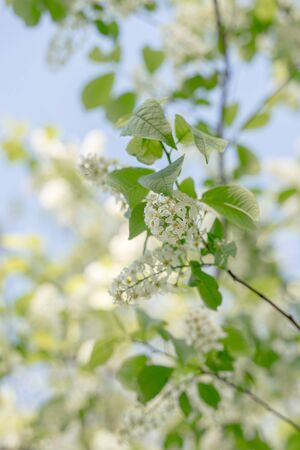 Blooming bird-cherry tree on spring, selected focus. Romantic floral background.