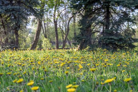 Blooming yellow dandelions in bright juicy green in rays of evening sunlight in park. Spring natural background.