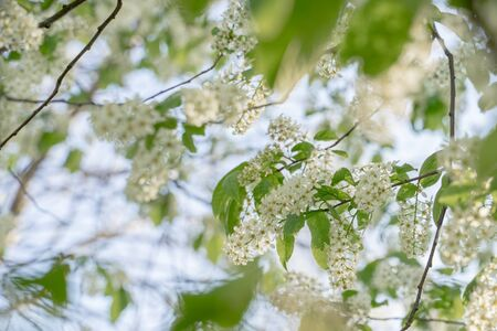 Branches of blossoming bird cherry in spring, soft focus. Romantic floral background.