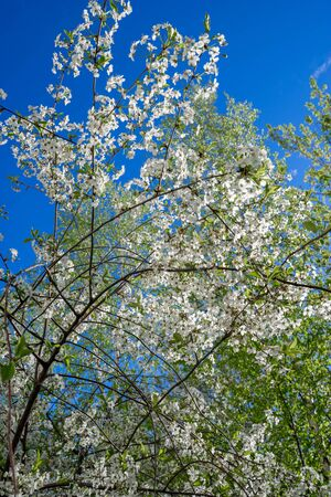 Blooming cherry tree on spring. Romantic floral background. Imagens