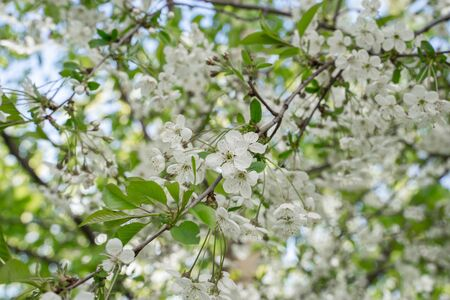 Branches of blossoming cherry in spring. Romantic floral background.