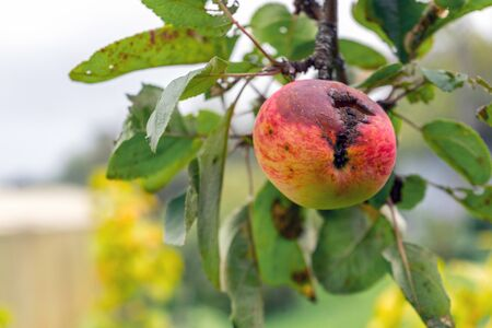 Branch of Apple tree with rotten hole by ripe reddened Apple. Crop damage by pests or birds. Autumn natural background. Imagens