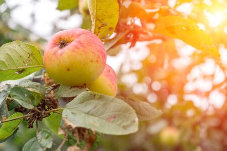 Branch of Apple tree with ripe reddened apples in sunlight. Autumn natural background. Imagens