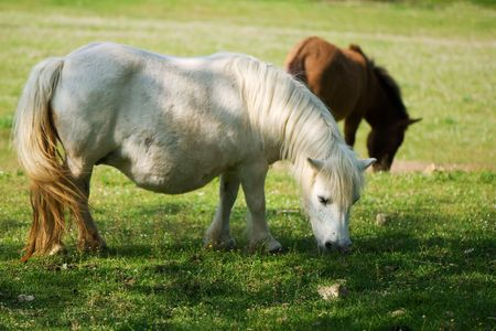 Pregnant white pony eating photo