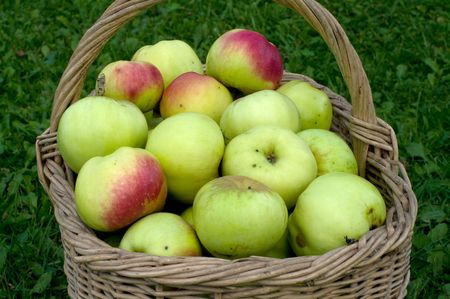 Wattled basket with a crop of apples on a green grass. Stock Photo - 5639483