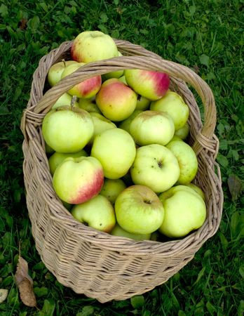 Wattled basket with a crop of apples on a green grass. Stock Photo - 5639560