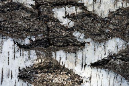 birchen: Structure of a birch bark a close up.