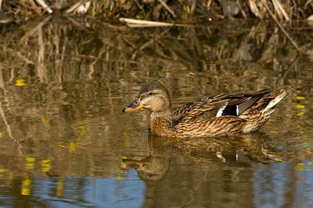 Wild duck swims in the pond in the spring.  Stock Photo
