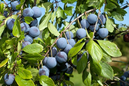 Ripe berries of a sloe on branches. Stok Fotoğraf