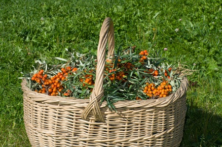 molly: Basket with sea-buckthorn berries on a green grass.