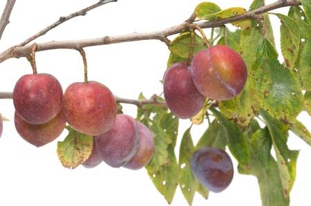bacca: Branch of plum with berries it is isolated on a white background. Stock Photo