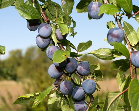 Ripe berries of a sloe on branches. Stock Photo