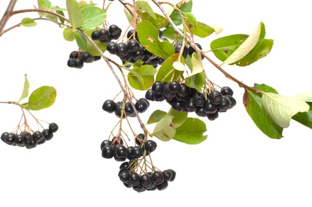 Branch black chokeberry close up it is isolated on a white background.