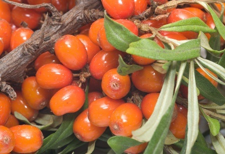 Sea-buckthorn berries branch close up. Stock Photo - 10574068