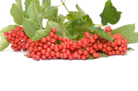 guelderrose: Guelder-rose berries on a branch it is isolated on a white background
